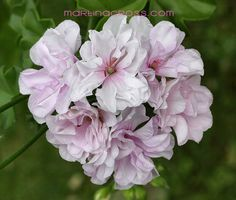 Pelargonium 'Patricia' (syn. Jacky Gauld') - I think this is the one I have, though this may be slightly more lilac, and mine more pale pink?