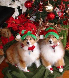 Christmas Shelties
