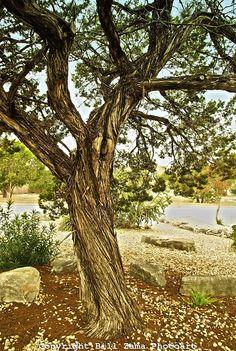 Old Cedar Tree in Kerrville Texas