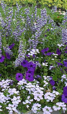 Pairing violet, the coolest and darkest color, with shades of white, makes a stunningly cool garden vignette. Seen here (top to bottom) are Angelonia (Angelonia angustifolia cv., USDA Hardiness Zones 10-11), Petunia (Petunia cv., annual), and Verbena (Verbena X hybrida cv., Zones 9-11).