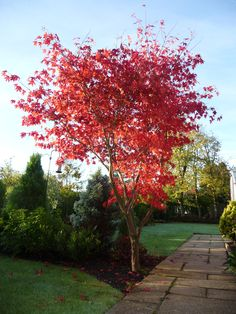 Beautiful red acer tree