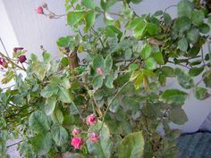 Marsonia maladie des taches noires rosier jardinage pinterest taches noires maladie - Rouille rosier traitement naturel ...