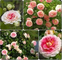 wielobarwne róże pnące