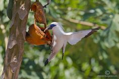 photo of a critically endangered Bali Starling.   #FNPF  courtesy of Debra Burgess-Lim