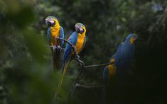 Image result for blue yellow macaw