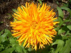 Calendula seeds by YelowHorseMercantile on Etsy