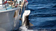 Le autorità australiane hanno catturato 170 squali neqli ultimi tre mesi come parte di un intervento per garantire la sicurezza dei bagnanti./Australia, catturato 170 squali e sacrificato 50 per ridurre gli attacchi contro i bagnanti - RT