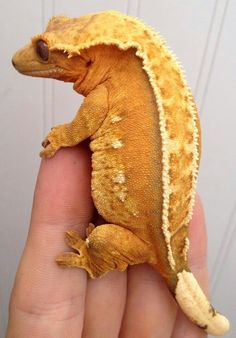 Fat little gecko Like Animals, Cute Funny Animals, Cute Baby Animals, Animals And Pets, Cute Reptiles, Reptiles And Amphibians, Mammals, Cute Lizard, Cute Gecko
