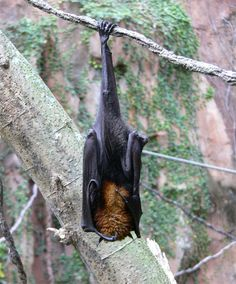 Pemba flying fox was endangered and almost extincted specie endemic to the Pemba island in Tanzania. These very large (up to 650 grammes/one and a half pounds of weight and 1.85 meters/six feet of ...