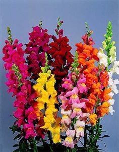 Antirrhinum - snapdragons Liked by blue bees Winter Flowers In Season, Seasonal Flowers, Ikebana, Exotic Flowers, Beautiful Flowers, Deer Proof Plants, Garden Bird Feeders, Different Kinds Of Flowers, Antirrhinum