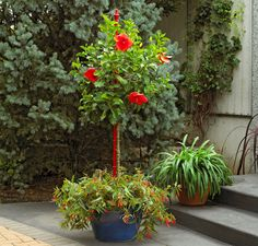 Lowe's: tropical hibiscus (H. rosa-sinensis), Brazilian begonia (B. boliviensis), lily of the Nile (Agapanthus)