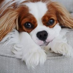 Duke the cavi - How can you resist this face?!?
