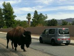 Bison roam in Hemet; Nissan Cube for scale Riverside County, Nissan, Empire, Cube, Lovers, Animals, Animales, Animaux, Animal