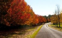 Liquid Amber Trees, amazing colour.  (Liquidambar styraciflua)