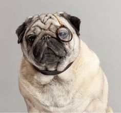 Interactive Pug Age Calculator - Check This Out!!
