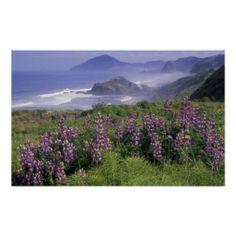 Oregon, Nesika Beach. Lupine and Oregon coastline  (pinned by haw-creek.com)