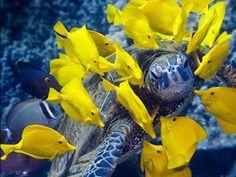 tortuga con peces amarillos