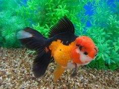 Goldfish ~ Would make an awesome Watercolor!