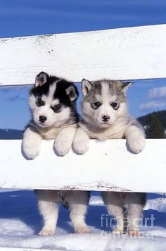 Cute husky puppies are absolutely freakin amazing! Cute husky puppies are absolutely freakin amazing! Life with a Siberian husky Cute Husky Puppies, Siberian Husky Puppies, Husky Puppy, Siberian Huskies, Huskies Puppies, Baby Huskies, White Siberian Husky, Malamute Puppies, Beautiful Dogs