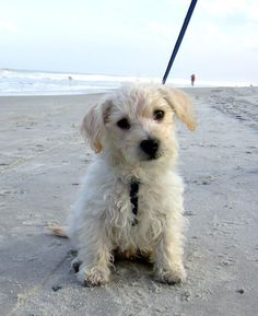 Maltese Poodle Mix Cake Ideas And Designs