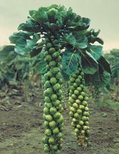 Tips les l gumes planter en automne les l gumes rateau et l gumes - Planter des choux de bruxelles ...