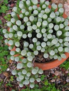 Fenestraria is a monotypic genus of succulent plants in the family Aizoaceae. The species is also called Babies Toes or Window Plant. Fenestraria is a monotypic genus of succulent plants… Succulent Gardening, Cacti And Succulents, Planting Succulents, Container Gardening, Planting Flowers, Unusual Plants, Cool Plants, Air Plants, Garden Plants