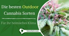 Bei der Entscheidung, welche Art von Hanfsamen bzw. welche Cannabis Sorten Sie für den Outdoor Anbau kaufen möchten, müssen Sie eine Reihe von Faktoren berücksichtigen. In erster Linie sollten…Mehr Dandelion, Flowers, Plants, Outdoor, Ganja, Weed Strains, Hemp Seeds, Harvest, Tutorials