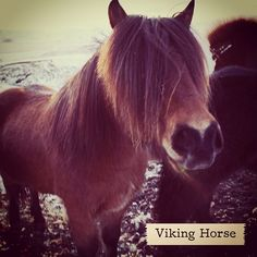 The Icelandic Viking Horse! (Remember they don't like to be called ponies) #Iceland #Horses