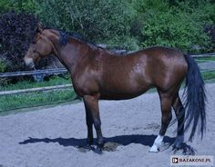 Polish Half-Bred Horse - mare Sumatra