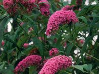 Butterfly bushes are large, fast growing, deciduous shrubs whose lilac pink flowers are irresistible to butterflies.