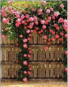magnificent pink cabbage roses rambling on a fence.
