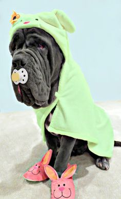 Neapolitan #Mastiff baby