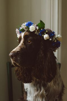 A crown of blue cornflower, astrantia and white spray rose - and your spaniel could look this pretty!