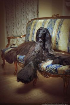 Goofy Dog, Most Beautiful Dogs, Afghan Hound, Dog Grooming, Dogs And Puppies, Lion Sculpture, Statue, Afghans, Pictures