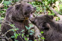 European brown bears display territorial behavior as they forage for grubs at the Wild Place Project in Bristol to celebrate the 1st anniversary of the opening of Bear Wood, the UK's largest brown bear exhibit where they live alongside wolves, lynx and wolverine, as they would have done thousands of years ago. (Photo by Ben Birchall/PA Images via Getty Images)