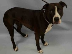♡ MY LIFE MATTERS ♡ STAR – A1065259 SPAYED FEMALE, CHOCOLATE / WHITE, PIT BULL MIX, 1 yr STRAY – STRAY WAIT, HOLD FOR ID Reason STRAY Intake condition EXAM REQ Intake Date 02/16/2016, From NY 10455, DueOut Date02/19/2016