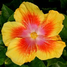 Exotic Hibiscus 'A Star is Born'