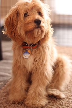 Cute Cockapoo!
