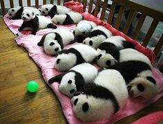 pen of pandas...oh my.... the little one loves her bears