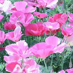 Goldmohn Rose Bush, Root Catalog, Default Category, Saatgut, Gräser, briza maxima,  Gestalten mit Farben Rosa-Pink, Neue Sorten 2014
