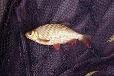 Fish: Rudd (Scardinius erythropthalmus)