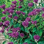 "Monarda didyma (Bee Balm)  no fail perennial of the northeast; blooms mid to late summer; Height: 30-36""; Plant with tomatoes to improve growth and flavor."