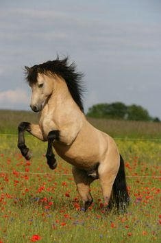 Buckskin Stallion - Black mane and tail. Very nice colors. Good sturdy horse, he is heavily muscled, might be a farm work horse. Not a true Gypsy Van, but has the look of a Gypsy wagon horse or an Old Order Amish Draft Horse.