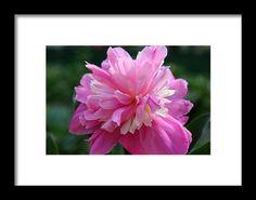 peony, pink, flower, nature, bloom, blossom, garden