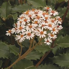 OLEARIA macrodonta 'Major'