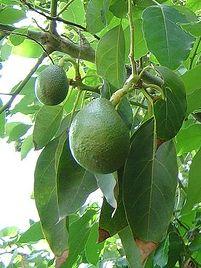 Persea americana, Abacado, Abacateiro, Loiro-abacate, Louro-abacate, Pêra-abacate