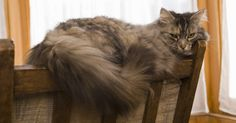 Cómo remover la orina de gato con vinagre. El olor de la orina del gato tiene una reputación bien merecida como un adversario formidable. Los gatos tienden a volver a los mismos lugares, en repetidas ocasiones ungen sus sitios favoritos en las alfombras o los muebles con su olor. Una vez que la orina se impregna en las alfombras o la tapicería, la bacteria continúa creciendo, provocando ...