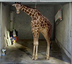 Fotoplane für Garagentor Giraffe / Garage Mural Giraffe