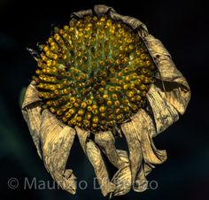 the circle of life by Maurizio Di Renzo on Circle Of Life, Decay, Dandelion, Flora, Plants, Beauty, Collection, Dandelions, Planters