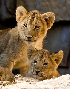 Lion Cub, Big Cats, Tigers, Peace And Love, Cubs, Lions, Funny Animals, Bears, Wildlife